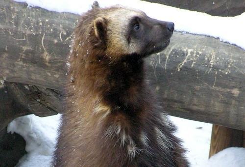 Росомаха новосибирский зоопарк