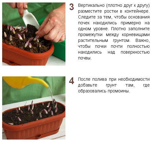 Выгонка луковичных растений O9XF3aMjjbs